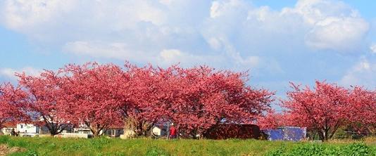 【2020年更新】桜開花宣言!茅ヶ崎とその周辺の花見おすすめポイント6選。