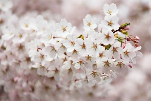 【2020年更新】藤沢で桜を見よう。オススメ花見スポット6選。