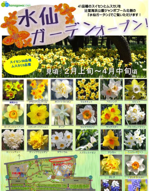 【藤沢】辻堂海浜公園の水仙ガーデンがオープンしています。見頃は3月上旬〜4月中旬ごろ