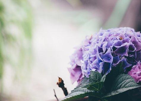 小田原城本丸東堀にて『小田原城あじさい花菖蒲まつり』が開催!!ライトアップした紫陽花は必見です。