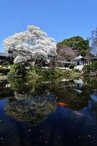 藤沢市の遊行寺で花木蓮が楽しめます。4月上旬まで。